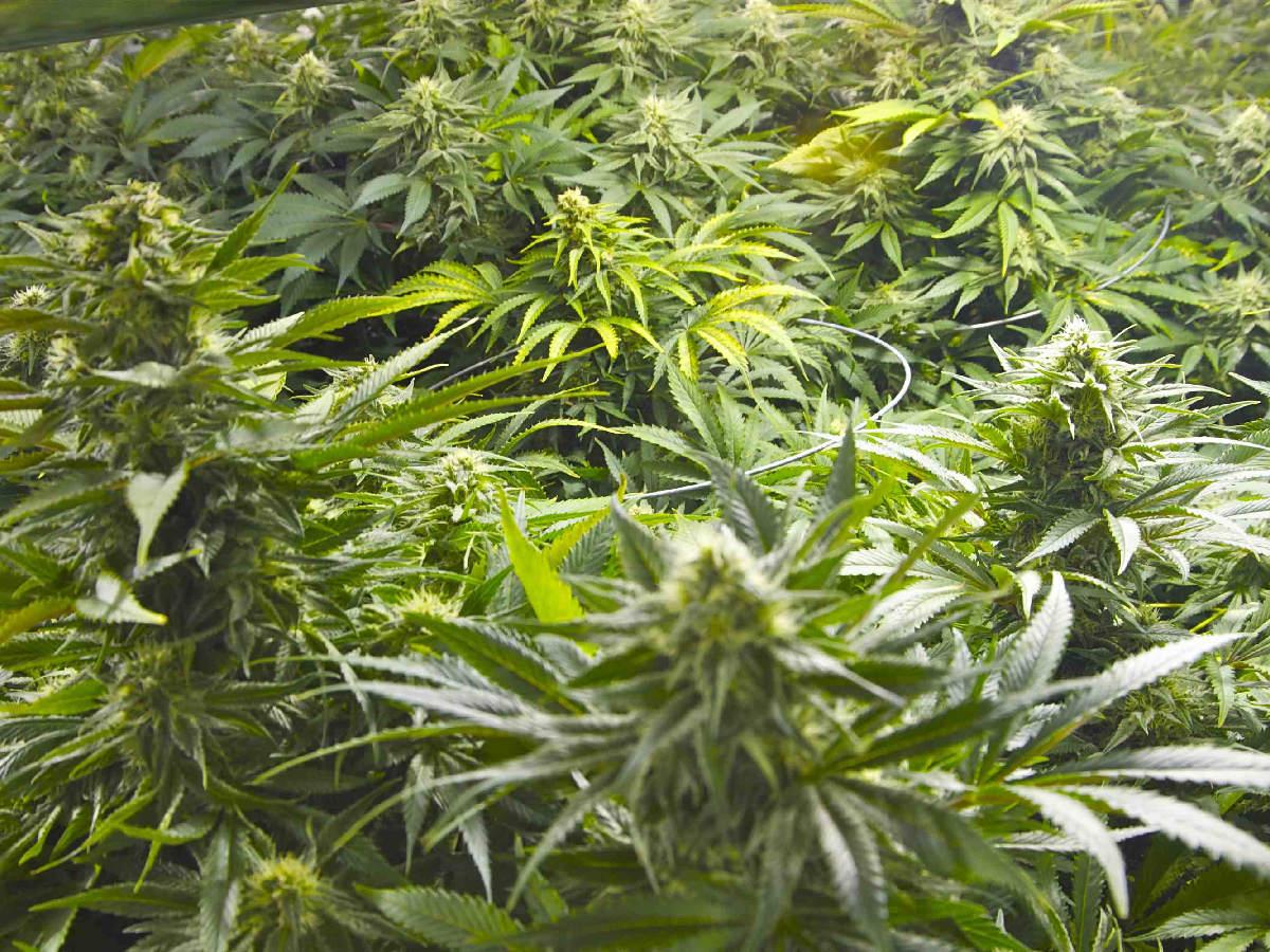 Maryland medical marijuana law is a farce