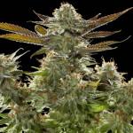 Marijuana Growers React to New Oregon Marijuana Law