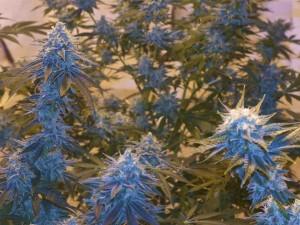 Legally grow marijuana