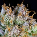 Potent New Marijuana Strains from Subcool TGA Genetics