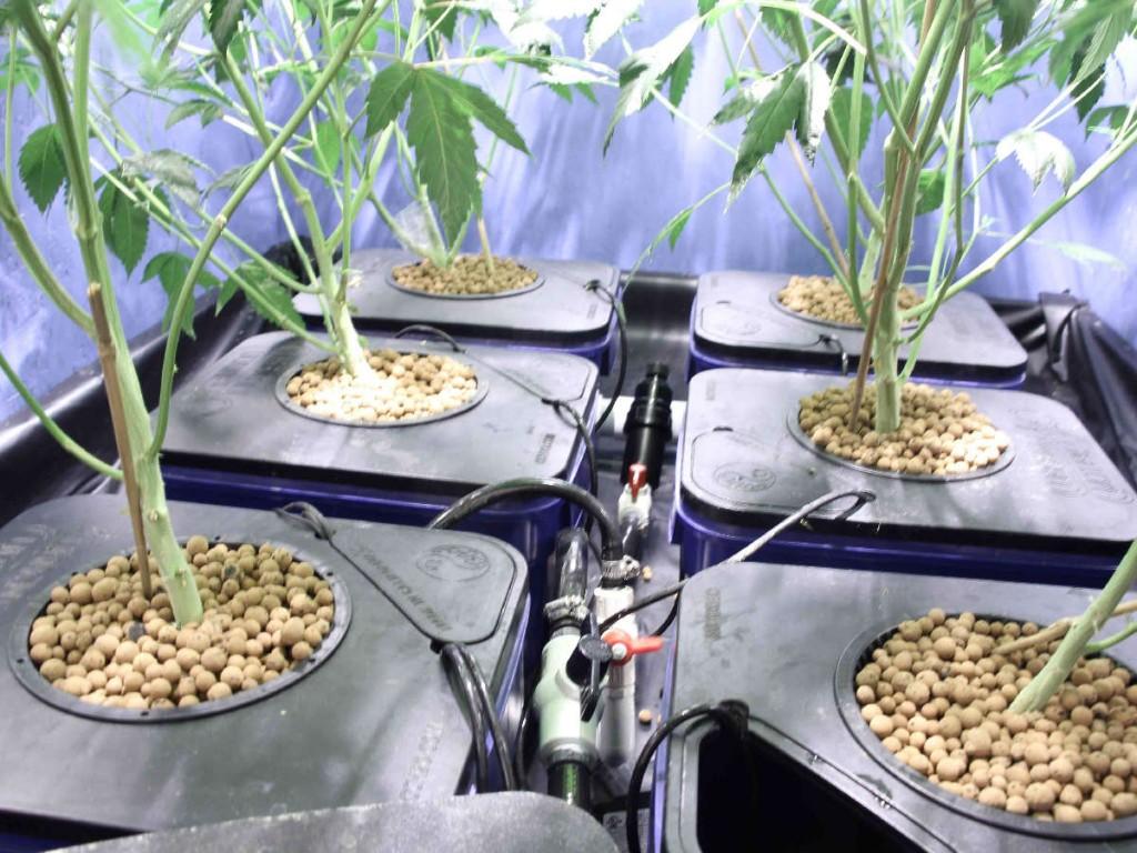 marijuana flushing