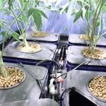 Marijuana Flushing Tips for Tastier Buds