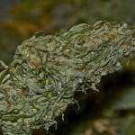 Marijuana's Evil Enemy: Gray Mold