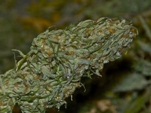 Marijuana's Evil