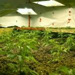 Marijuana Grow Phase Strategies for Bigger Buds