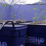 Hydroponics Reservoir Success Secrets For Marijuana Growers
