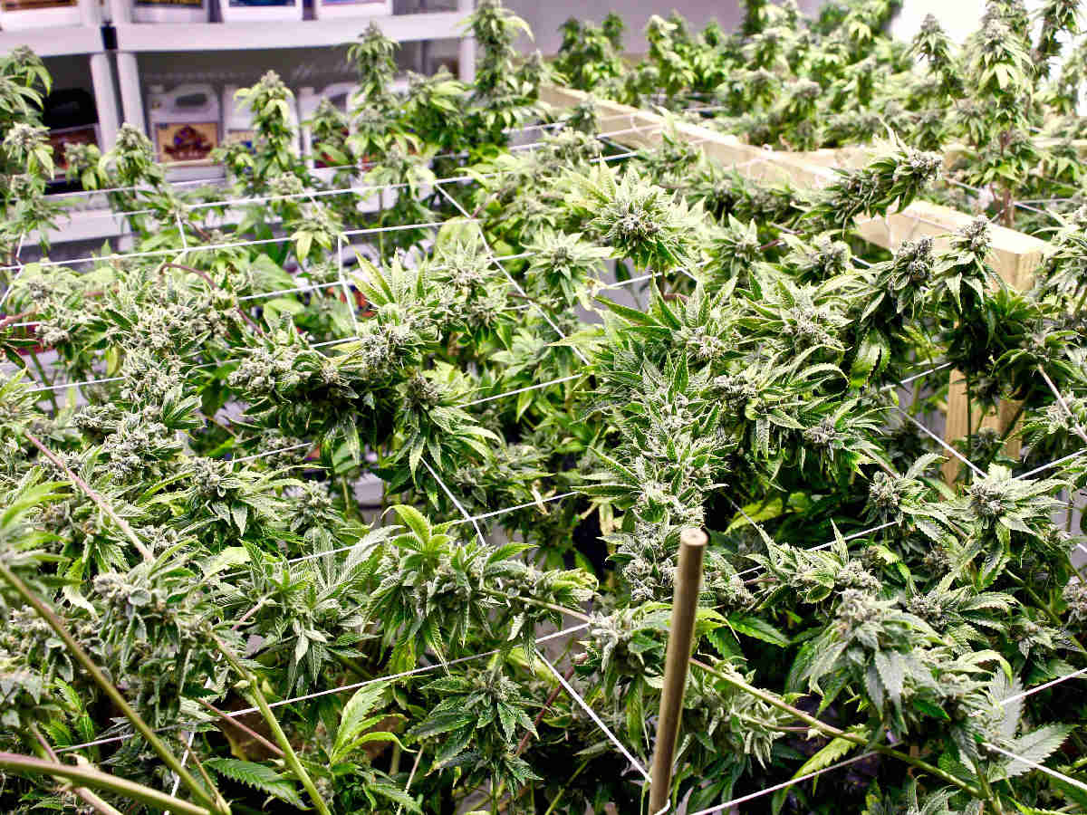 marijuana plant spacing