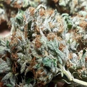 landrace marijuana