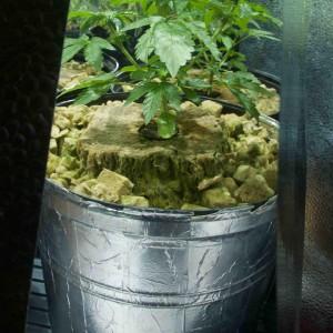 planting marijuana