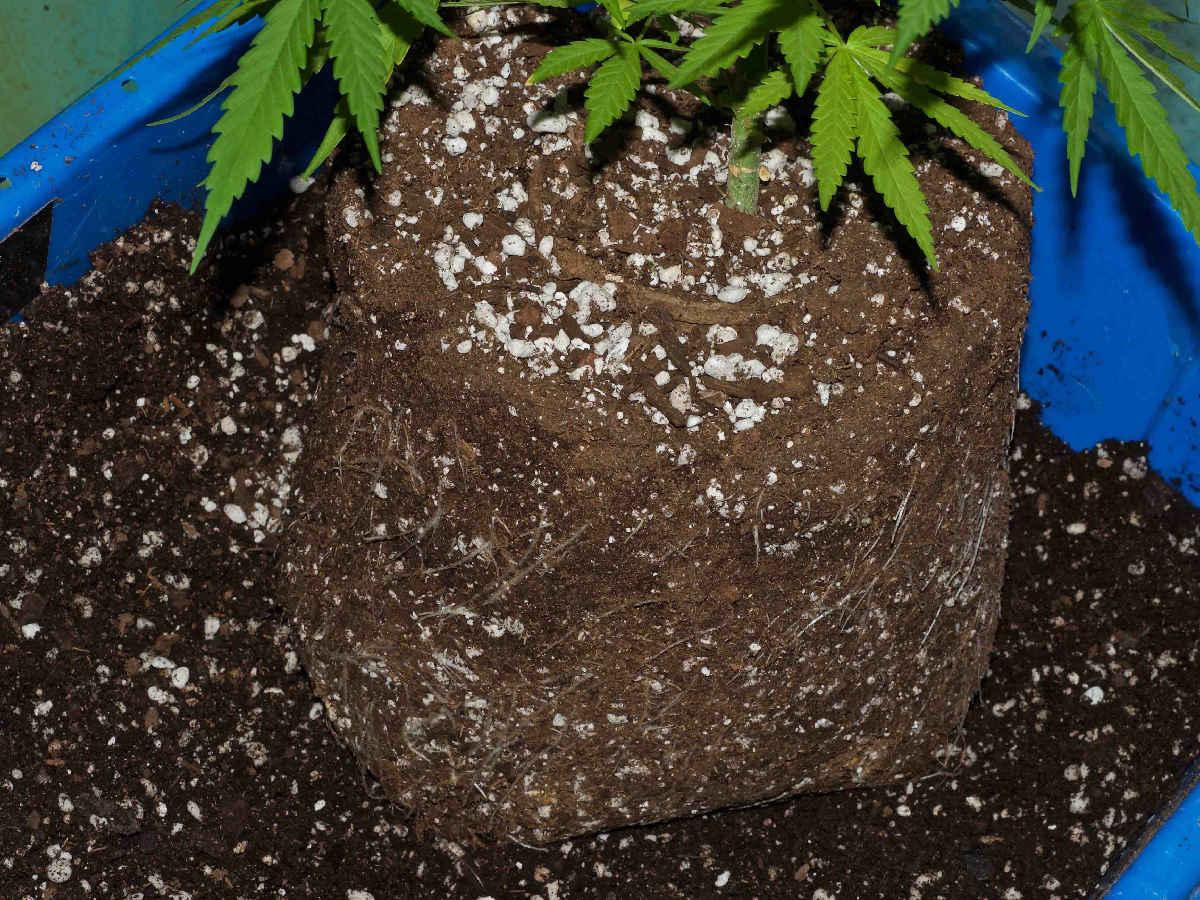 soil for marijuana growing
