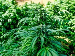 outdoor marijuana growing