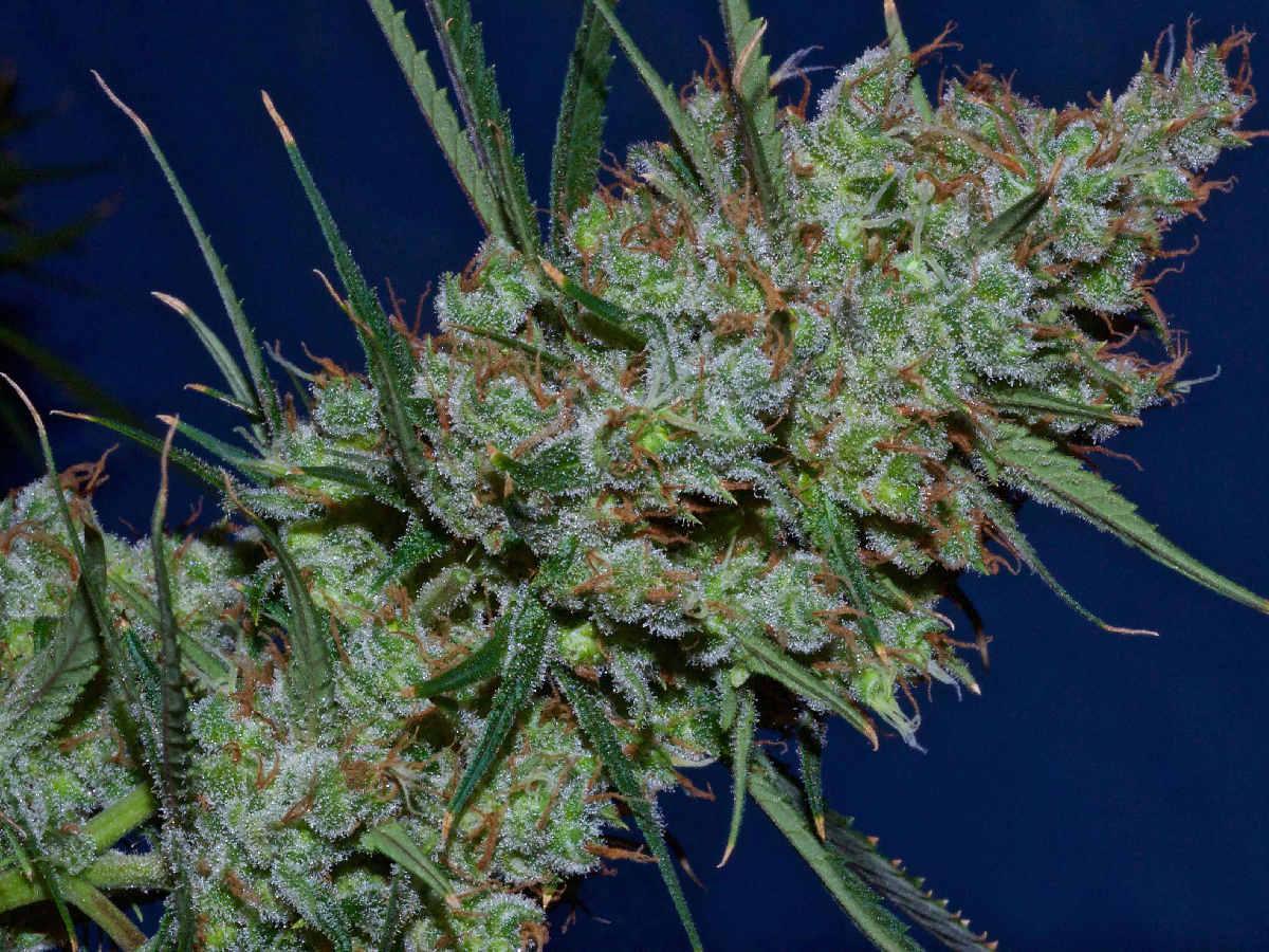 Marijuana bloom phase & How to Stop Marijuana Plant Stretch