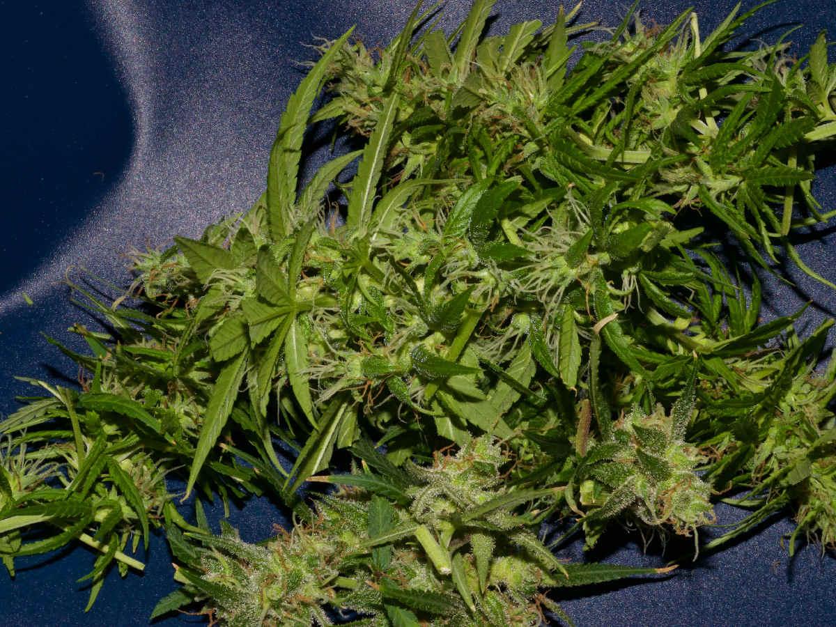 marijuana bloom phase