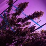 How to Stop Marijuana Plant Stretch Without Using PACLO Poisons