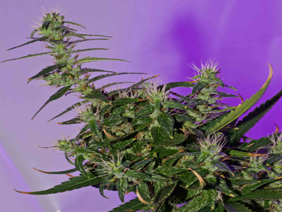 marijuana foxtail