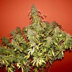 Autoflowering Marijuana Maximum Yield Grow Guide, Part 1