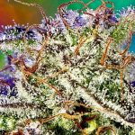 Understanding Cannabinoids and Terpenoids, Part 1