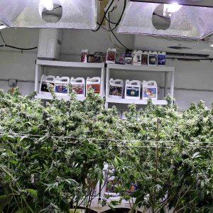 autoflowering marijuana