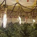 Stopping Mites, Gray Mold, Powdery Mildew, Thrips & Other Marijuana Grow Room Nightmares