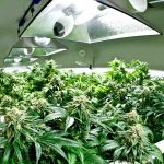 How Far Should Your Grow Light Be to Marijuana Plants in Indoor Marijuana Grow Room?