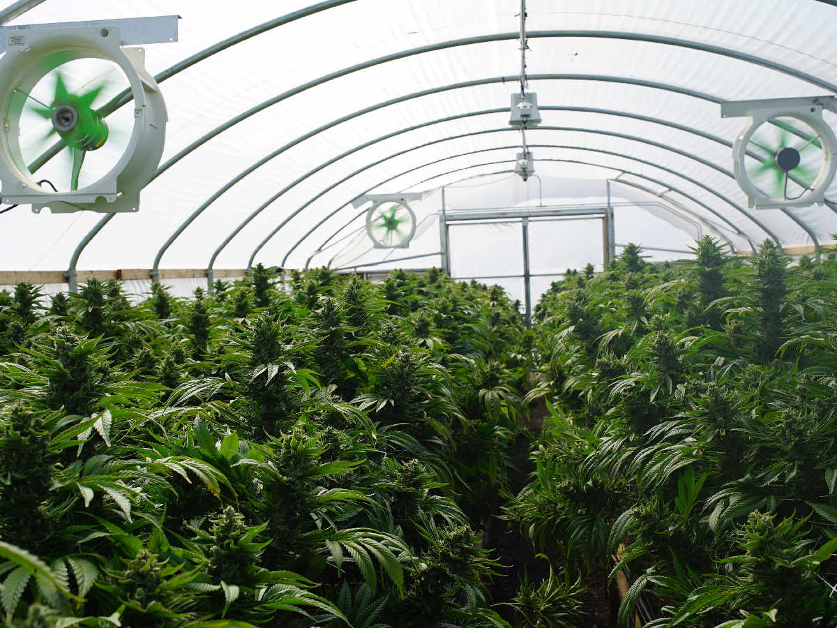 marijuana irrigation