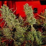 How Black Market Marijuana Growers Can Beat Legalized Sellers
