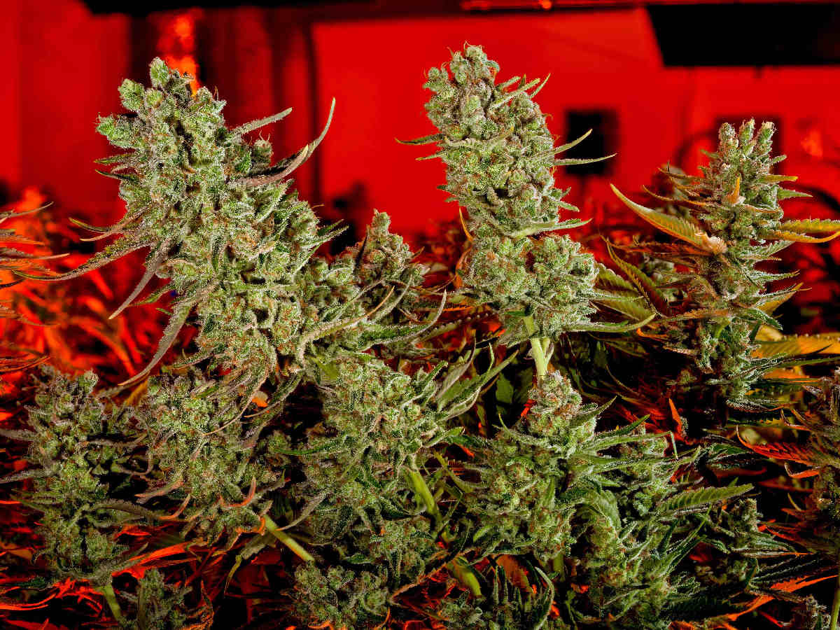 Black market marijuana growers learn to fight back against corporate weed sellers.