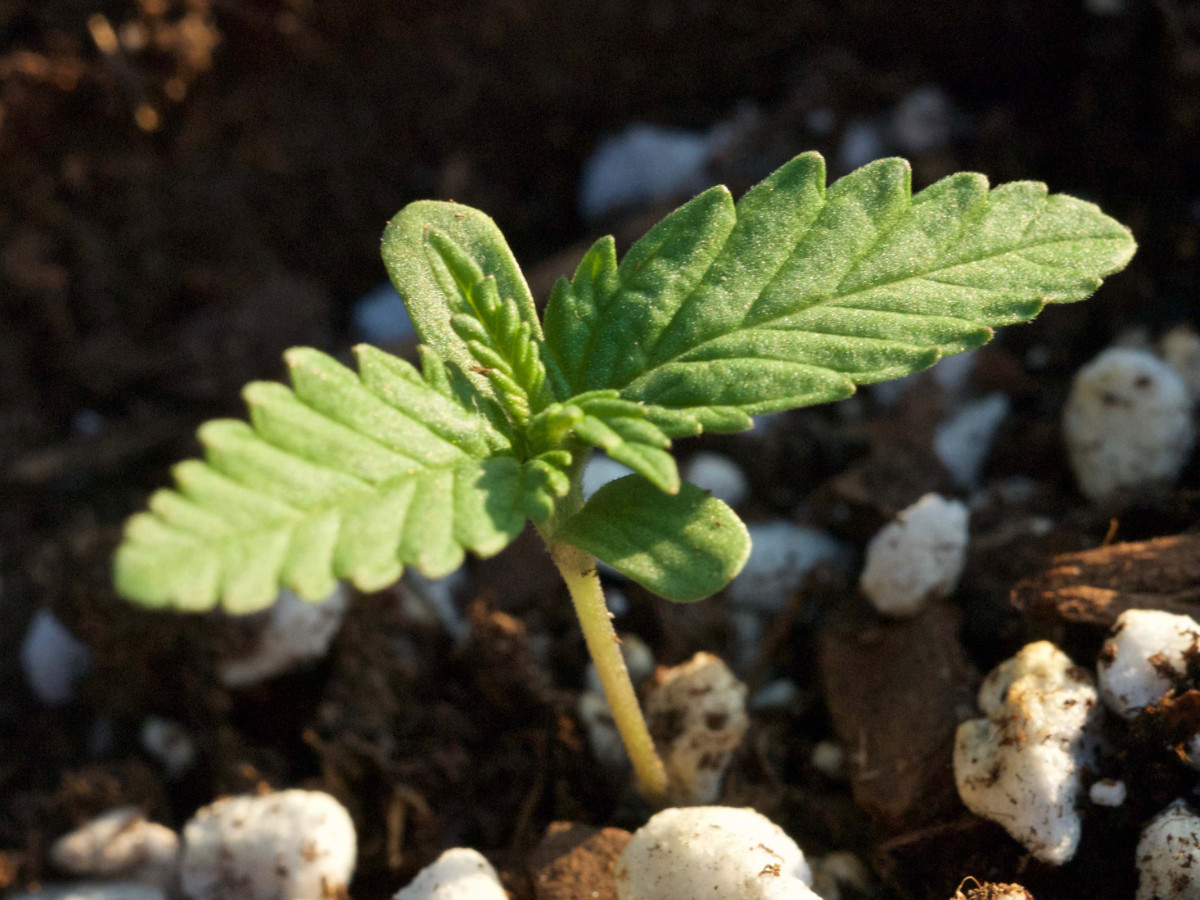 germinate marijuana seeds