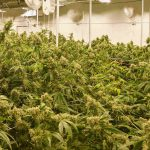 Summer Marijuana Grow Room Success Strategies