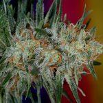 Subcool TGA Releases Powerhouse New Cherry Marijuana Strain