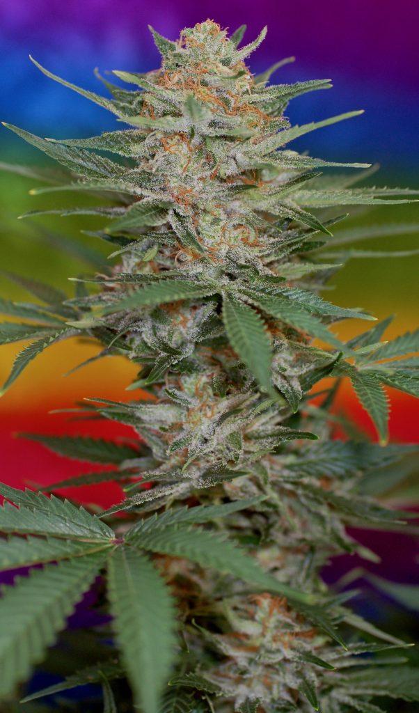 New Cherry Marijuana Strain