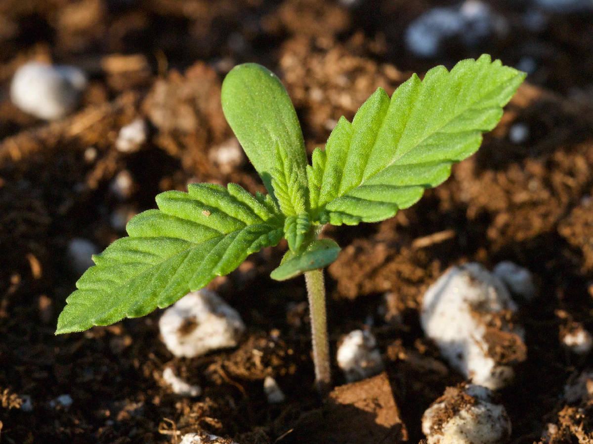 marijuana seedlings