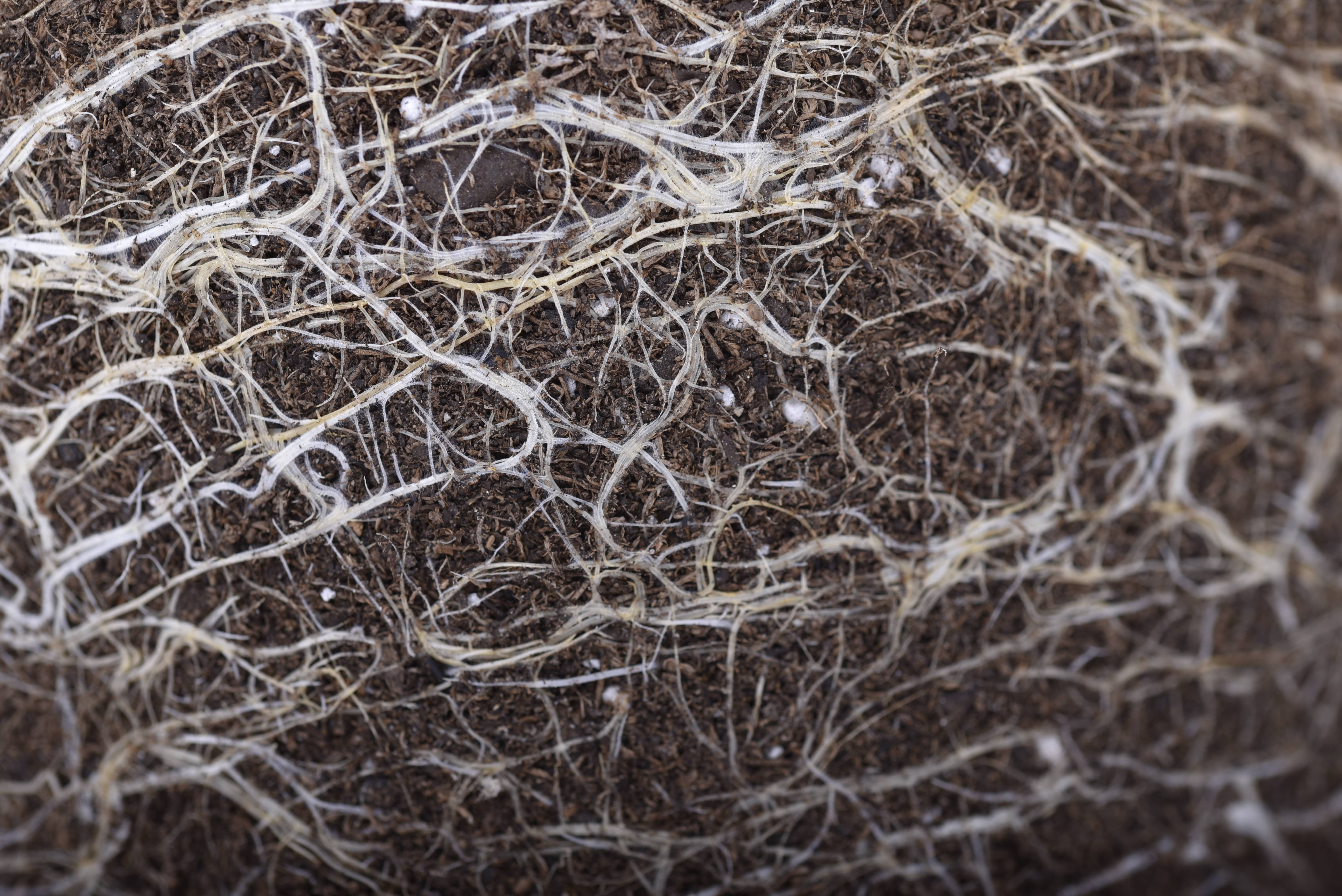 If your roots don't look healthy and white like these ones, then overwatering could be to blame. Take care to trim the brown sections of roots.