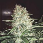 We're Bonkers For Dronkers: All About Heritage Strain Skunk #1 And The Man Behind It