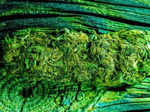 mangolope_marijuana_strain