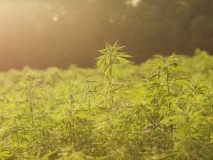 cannabis oligopoly