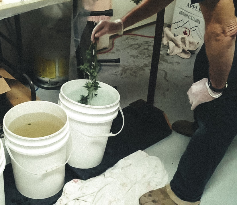 washing-cannabis