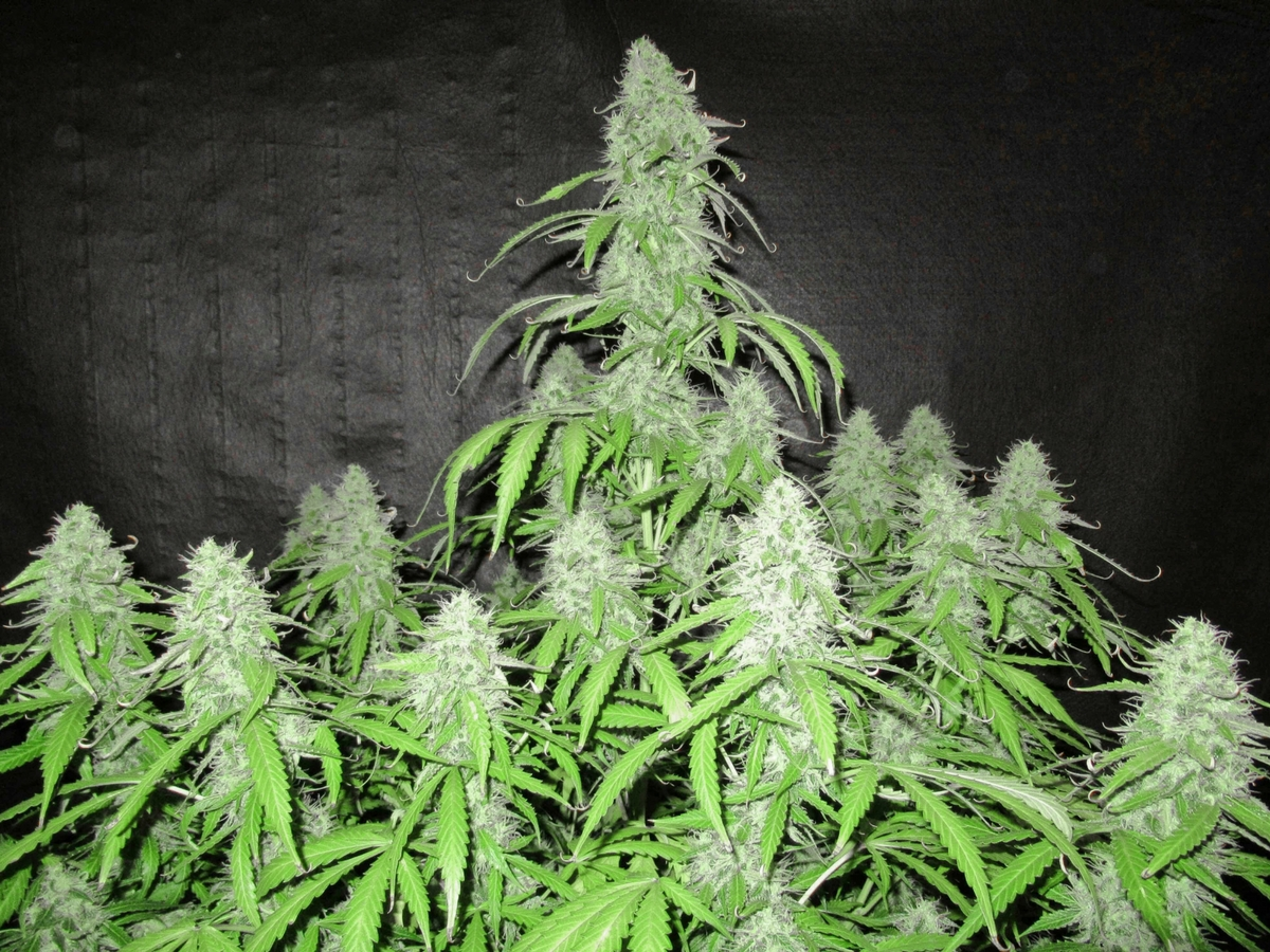 Power_Plant_Heritage_Strain