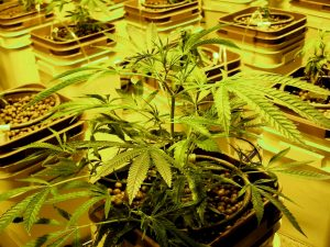 growing_hydroponic_cannabis_legally