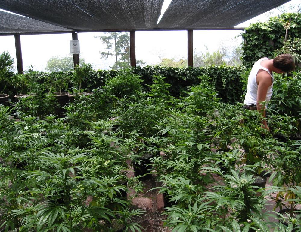 hidden_medical_cannabis_garden