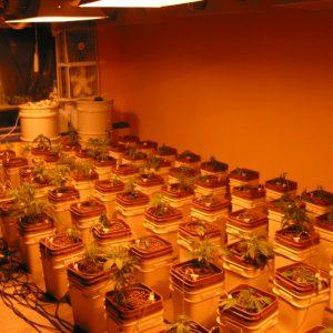 hydroponic_cannabis_clones