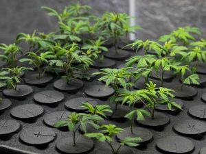 cloning marijuana