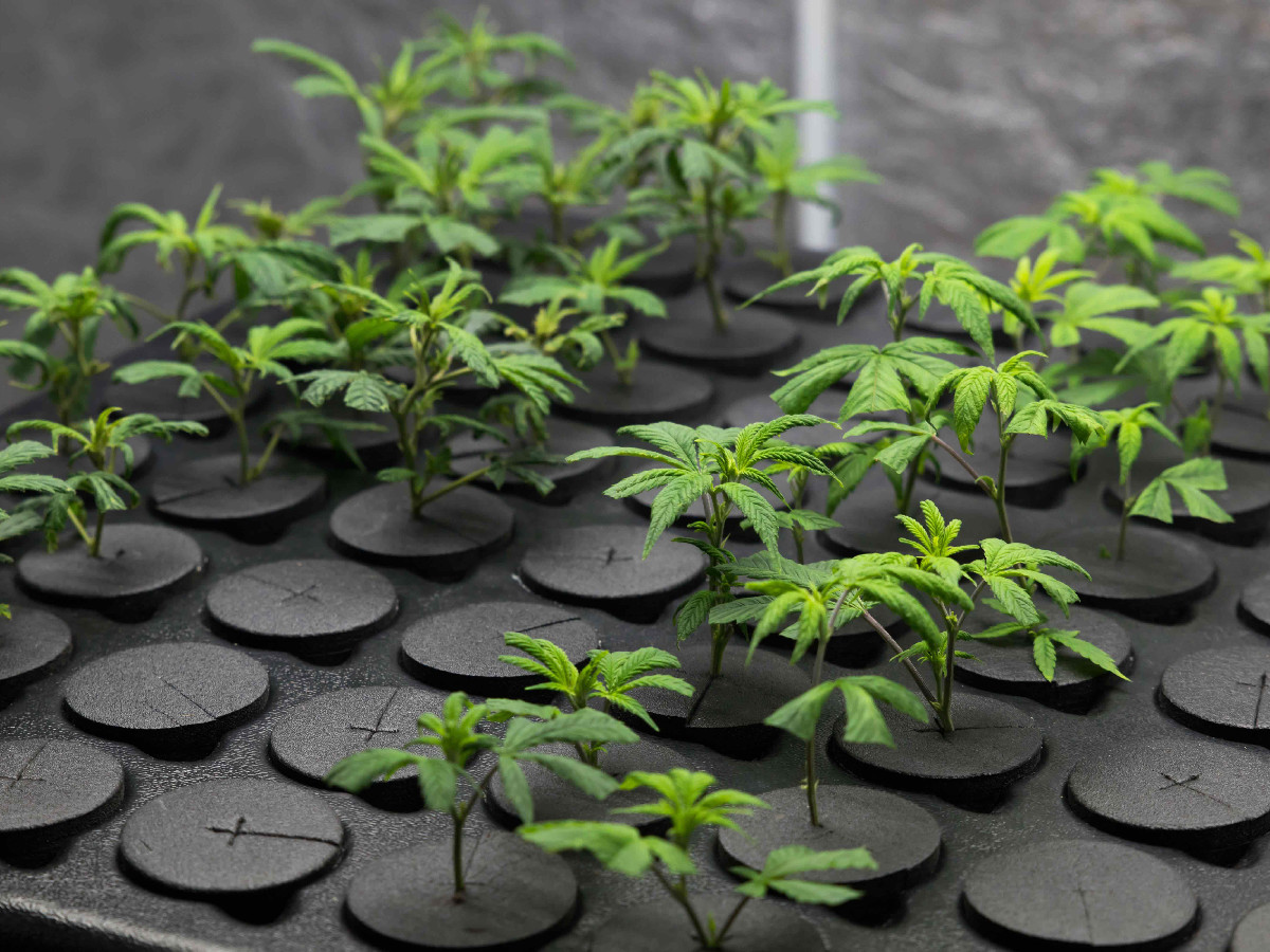 The Do S Amp Don Ts Of Cannabis Cloning For Beginner Growers