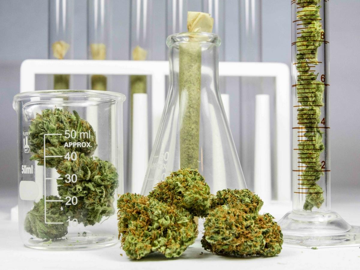 cannabis genetics and crossbreeding