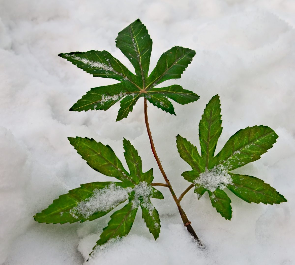 cannabis in winter snow