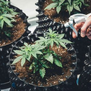 cannabis home growing