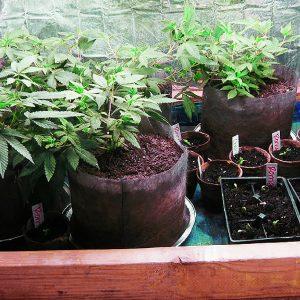 clones_seedlings_flowers_grow_cab