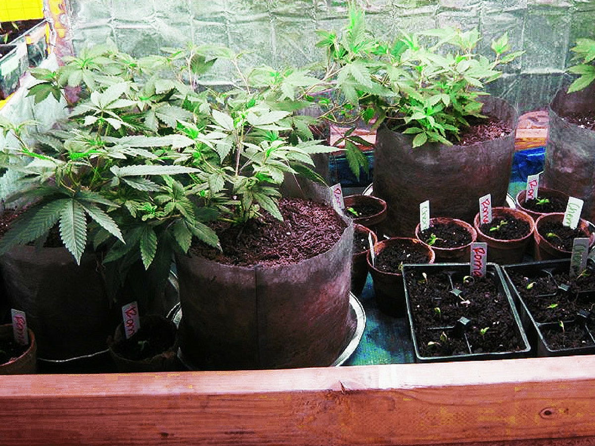 clones_seedlings_flowers_grow_cab