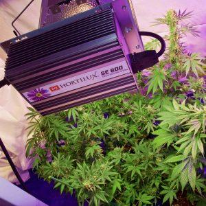 Hortilux grow lights for marijuana growers