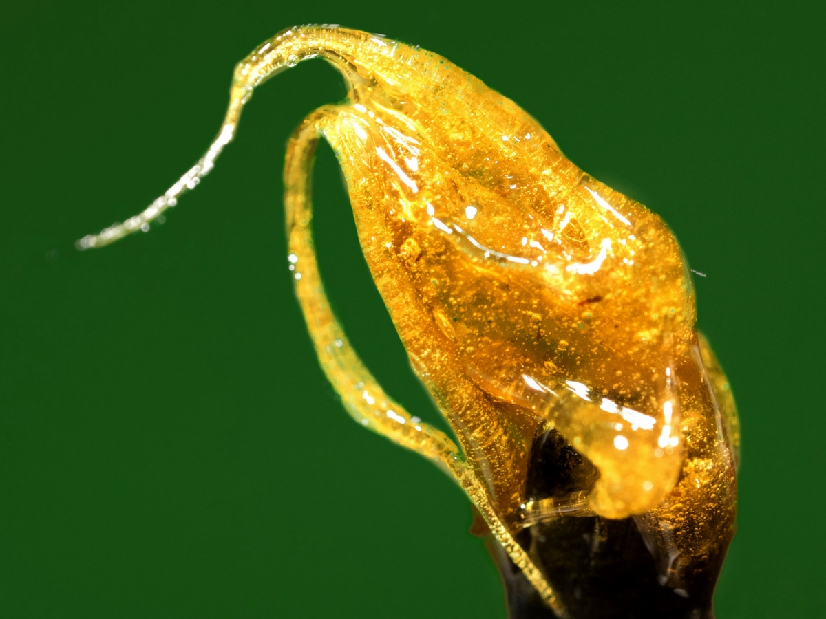 cannabis-growers-guide-to-rosin-pressing